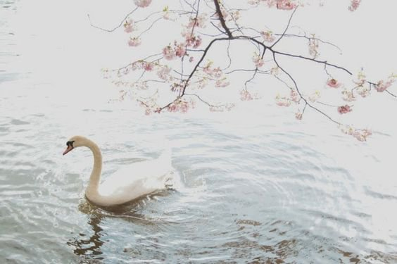 things-about-the-swan