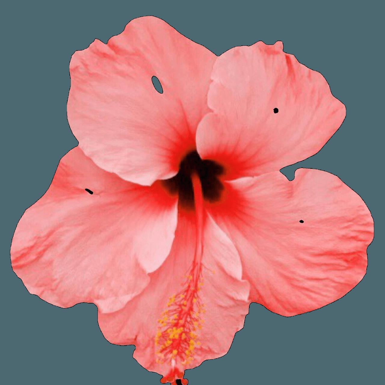Hibiscus Orange Pink Filler png