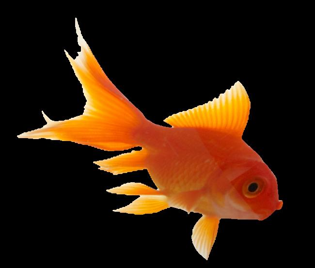 aesthetic tumblr vaporwave goldfish fish orange...