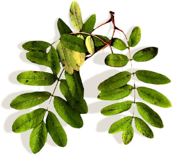 Leafy Plant Stem