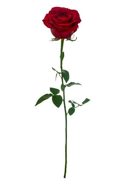dark red single rose - Google Search