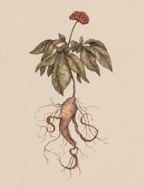 Jessica Roux Illustration ginseng