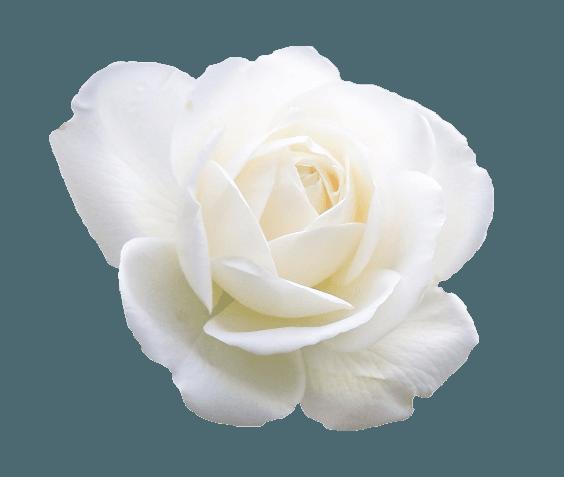 White Rose Clipart (Icon Supplies)