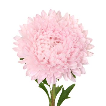 Beauty Asters Blush Pink Bulk Flower