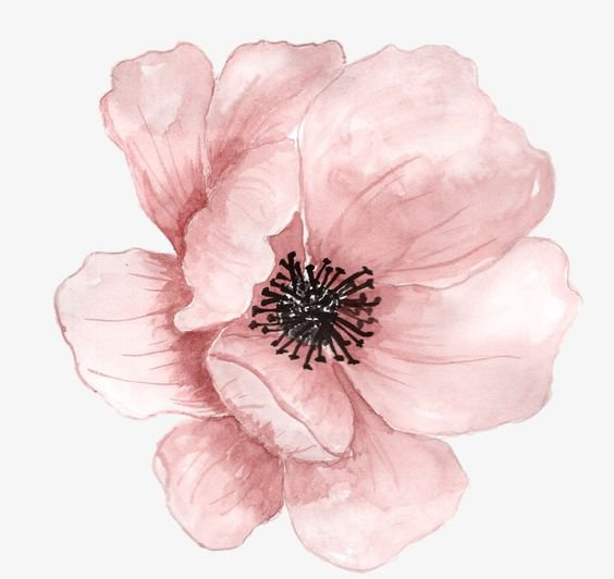 Pink Anemone Watercolor