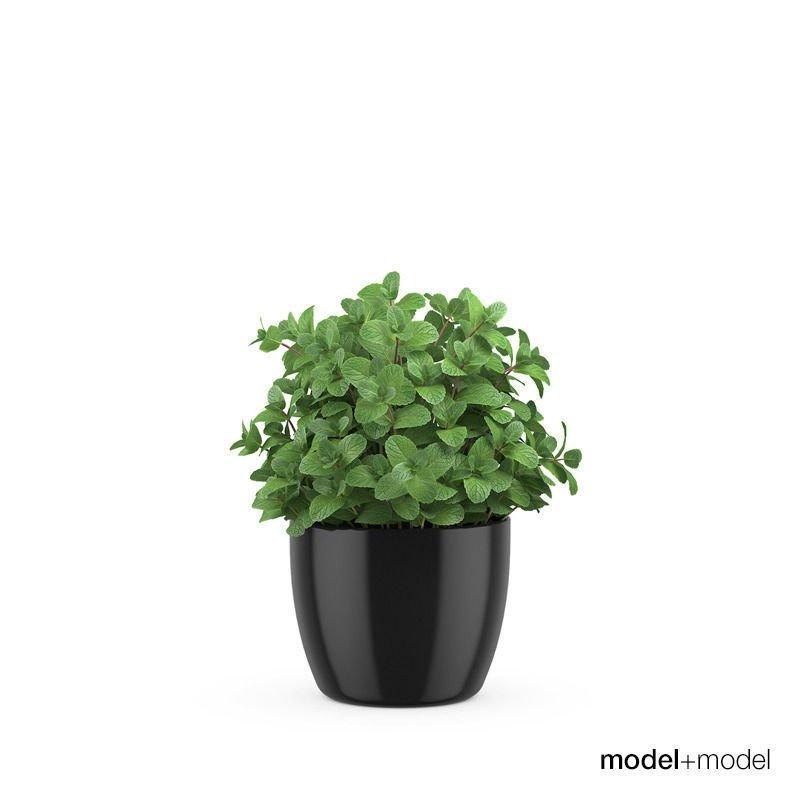 mint pot plant