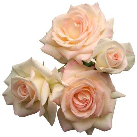 rose flower filler png moodboard