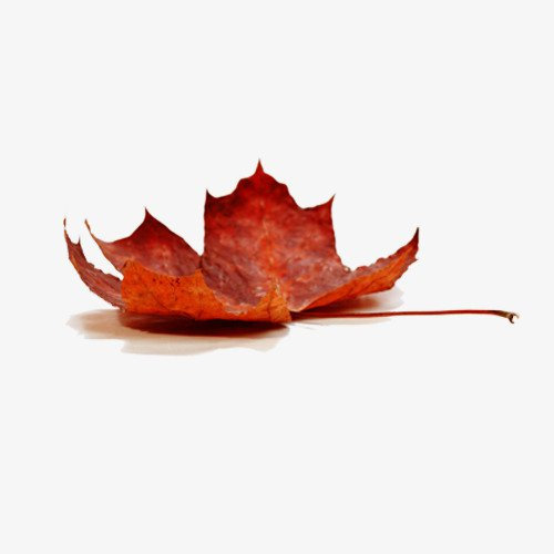 Autumn Maple Leaf, Autumn, Autumn Leaves, Deciduous Leaves PNG and PSD File for Free Download