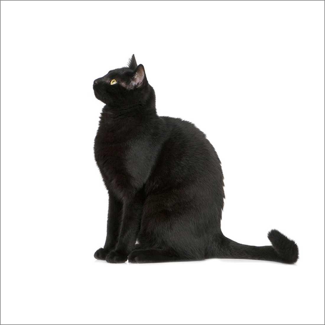 453AS-Black-Cat-Orig-THUMB__99079.jpg (1100×1100)