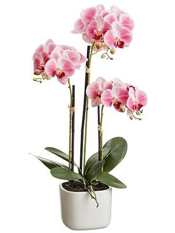 Orchid Flower Plant in Terracotta Pot flower
