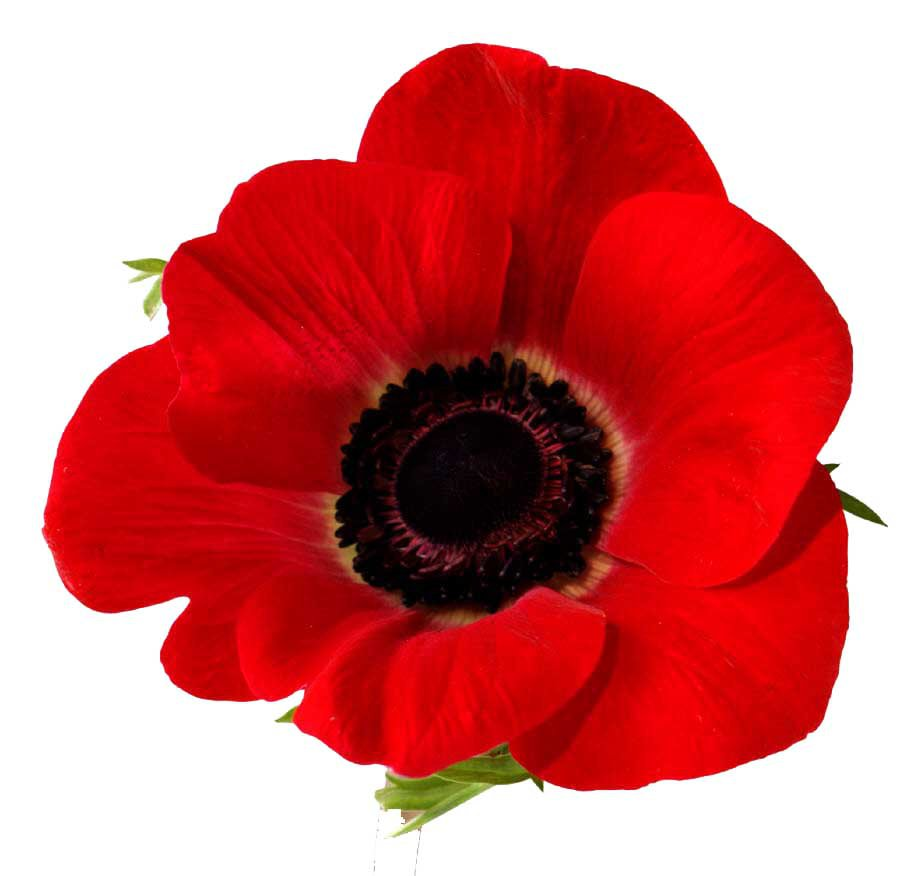 Red Poppy Clipart (Icon Supplies)