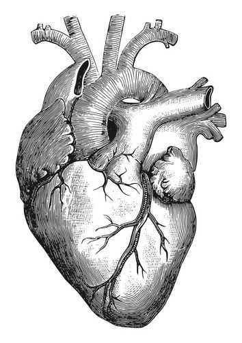 Anatomical Heart Drawing