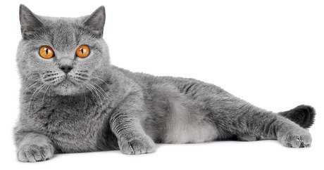 grey cats - Google Search
