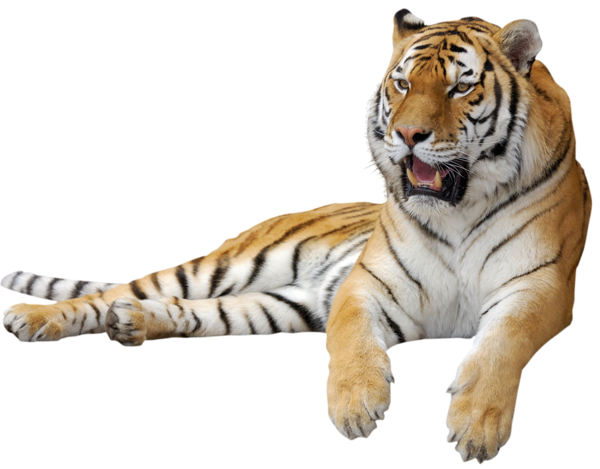 Free Tiger PNG Transparent Images, Download Free Clip Art, Free Clip Art on Clipart Library