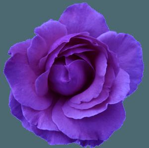 Dark Purple Rose (clipart)