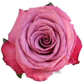 mauve rose - Google Search
