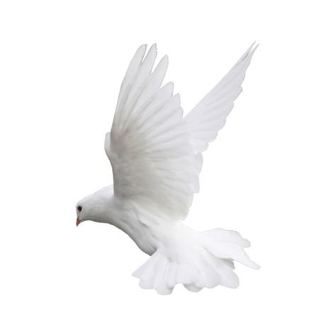 white dove bird png pale filler