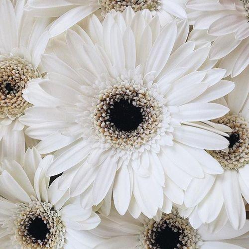 Big White Flower Background