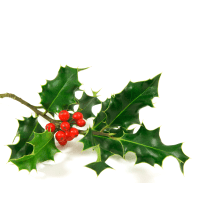 Christmas Holly and Mistletoe - Pines and Needles