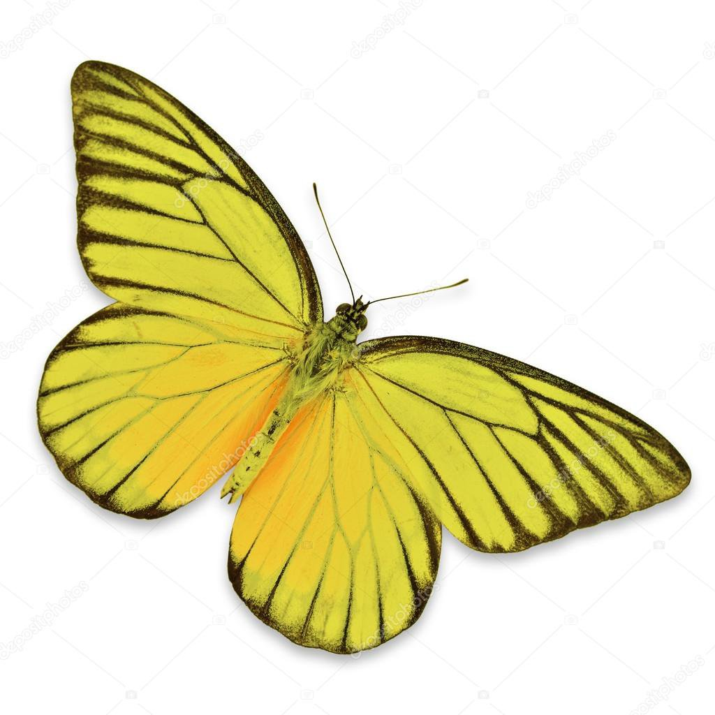 Yellow Buttefly