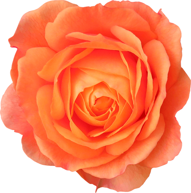 Orange Rose Clipart