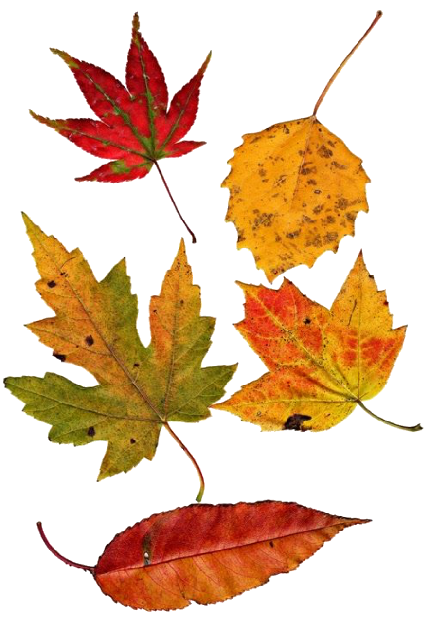 autumn leaves pngs