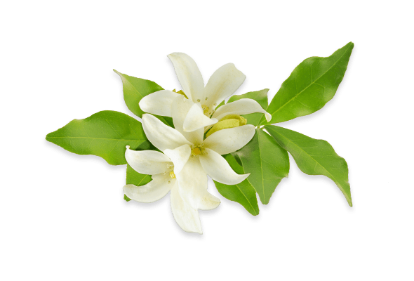Orange Blossom Sprig