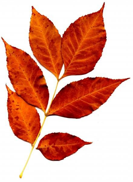 autumn fall leaf filler orange red png