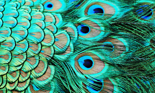 Peacock Feathers Background