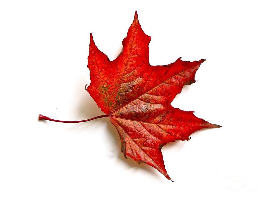 red-leaf-maple-in-autumn-sean-griffin.jpg (900×675)