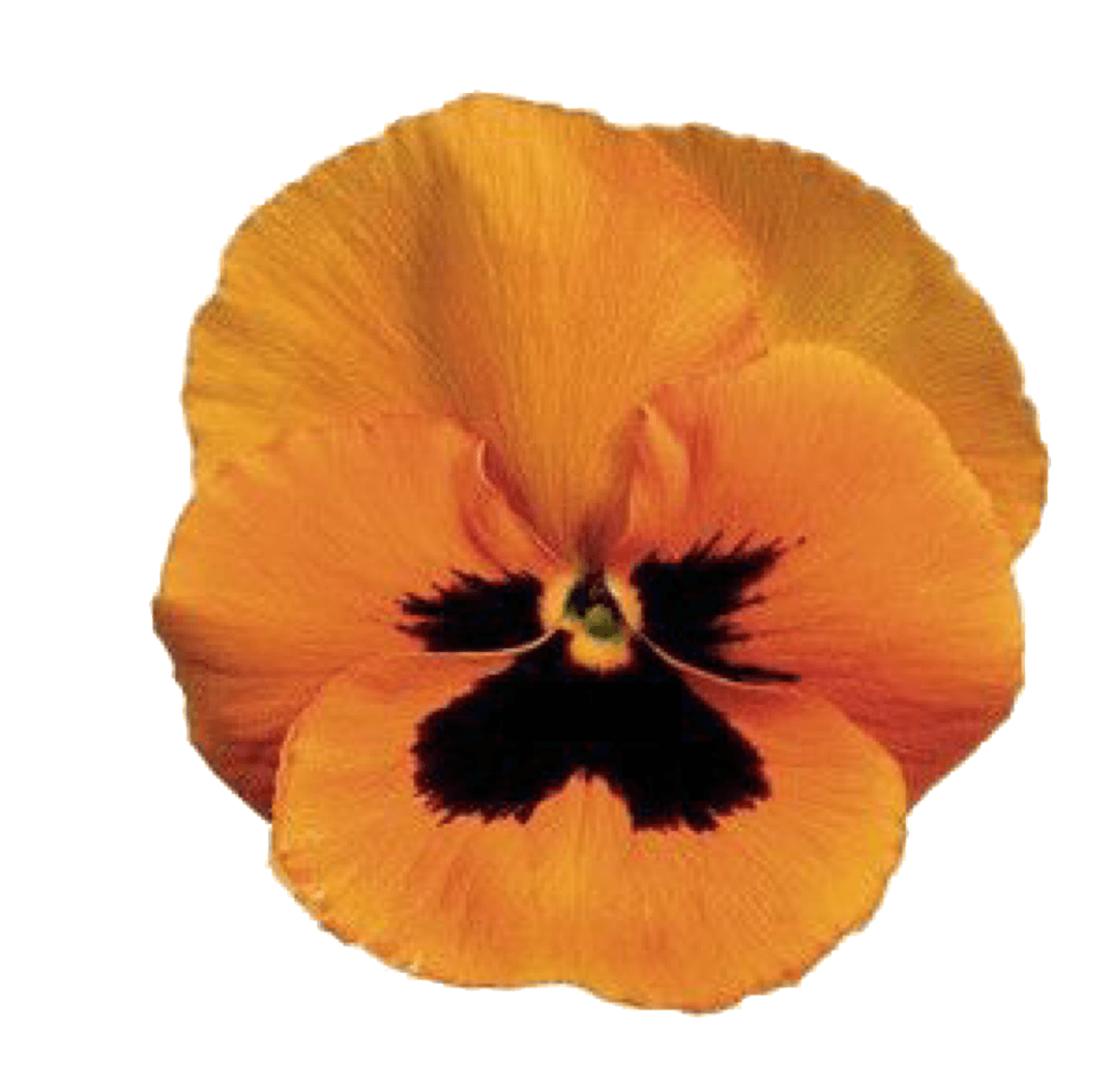 Yellow/Orange Pansy pngs