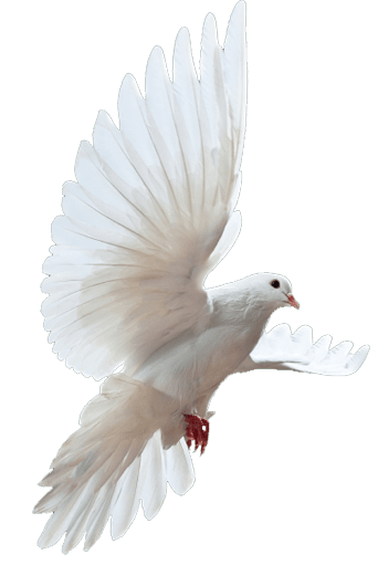 Dove png #41738 - Free Icons and PNG Backgrounds