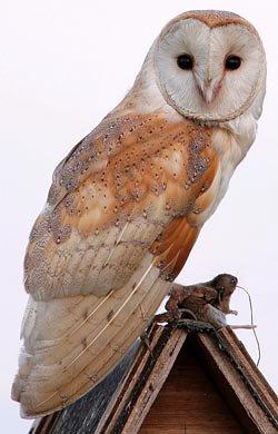 Tytonidae - Barn Owls & Grass Owls - Bird Watching,Resources for Bird Watching by the Fat Birder