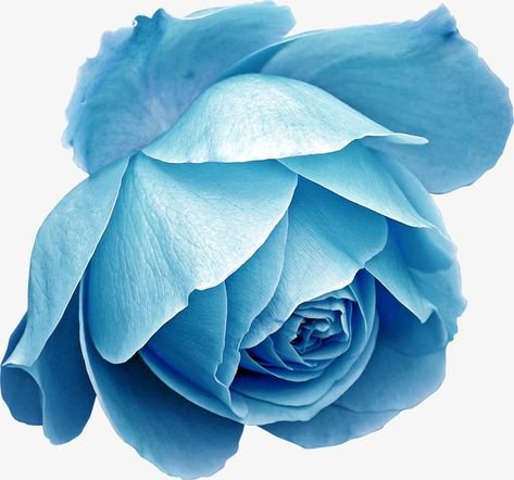 blue rose flower filler png