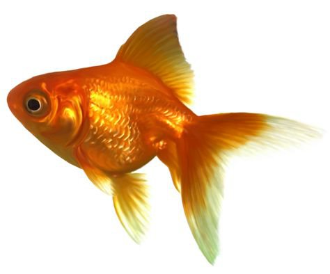 orange fish filler png goldfish