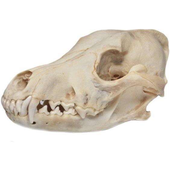 coyote skull