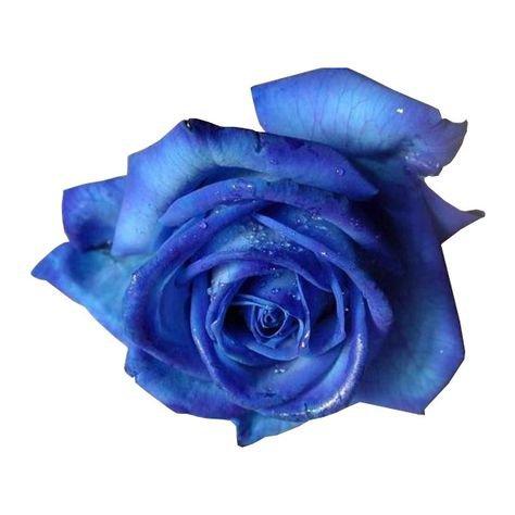 blue rose png filler flower